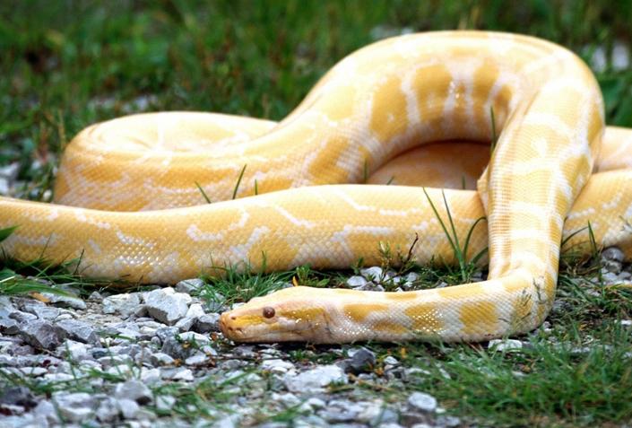 周公解梦梦见蟒蛇
