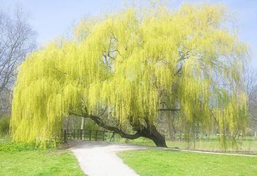 梦见柳树枝繁叶茂
